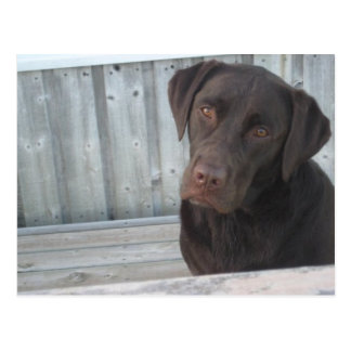 Cute Chocolate Lab Postcard