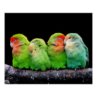 Cute colorful parrots sitting on a branch poster