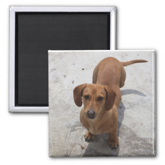 Cute Dachshund Collection Magnet