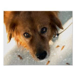 Cute Dog Poster (Golden Retriever)