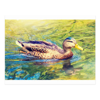 Cute Duck Swimming Postcard
