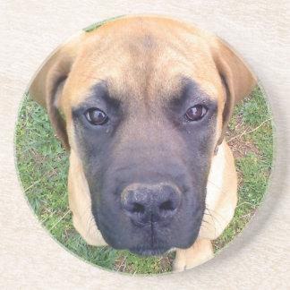Cute English Mastiff Puppy close-up photo Drink Coasters