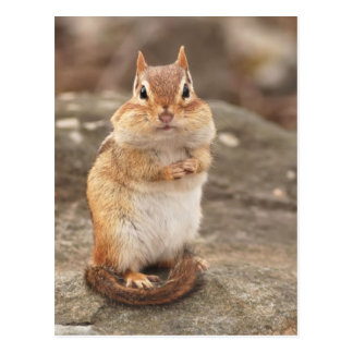 Cute Fat & Fluffy Chipmunk Postcard