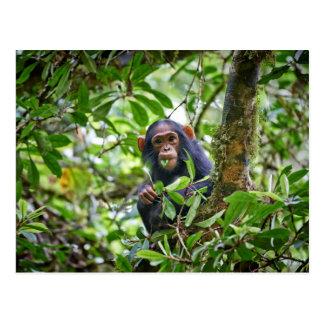 cute feeding juvenile chimpanzee postcard