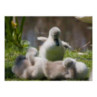 Cute fluffy cygnet baby swan poster, print, gift poster