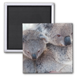 Cute Fluffy Grey Koalas Magnet