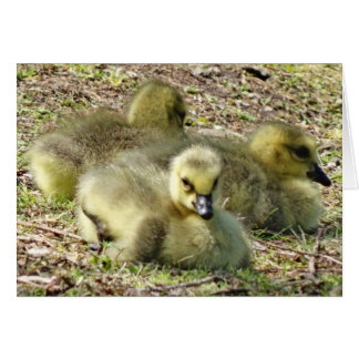 Cute Fluffy Yellow Baby Canada Geese Goslings Card