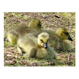 Cute Fluffy Yellow Baby Canada Geese Goslings Postcard