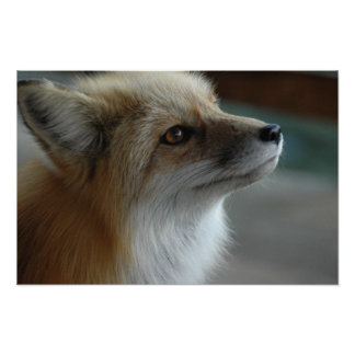 Cute Fox Face Poster