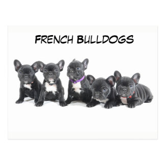 Cute French Bulldog Puppies Postcard