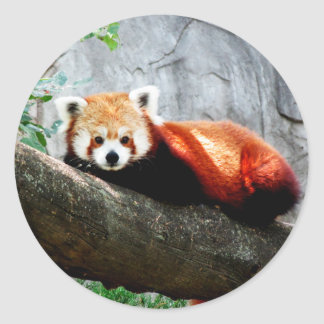 cute funny animal red panda classic round sticker