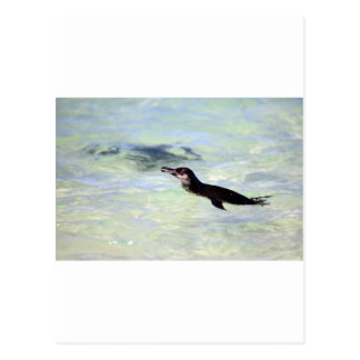 Cute Galapagos penguin swimming Postcard