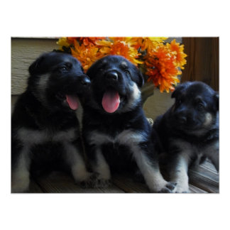 Cute German Shepherd Puppies Poster