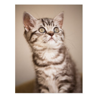 Cute Grey British Short Hair Kitten (Blue Tabby) Postcard