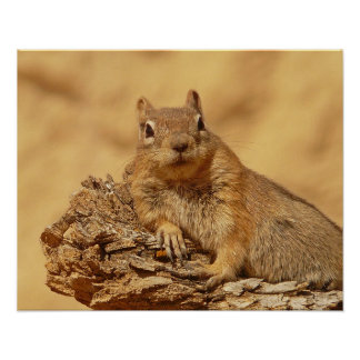 Cute Ground Squirrel Poster
