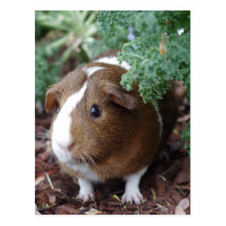 Cute Guinea Pig Postcard