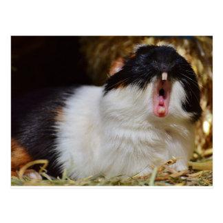 Cute Guineapig Yawning Postcard