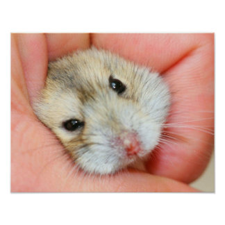 Cute Hamster Face 1 Poster