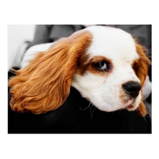 Cute King Charles Spaniel Postcard