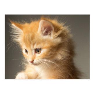Cute Kitten on hands Postcard