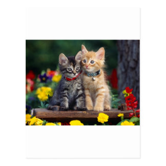 Cute-Kitten Postcard