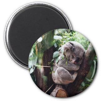 Cute Koala Bear relaxing in a Tree Magnet