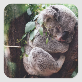 Cute Koala Bear relaxing in a Tree Square Sticker