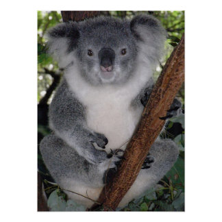 Cute Koala Destiny Zazzle Aussi Outback Poster