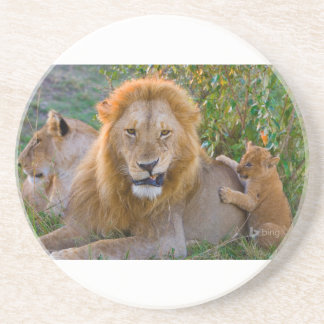 Cute Lion Cub Playing With Dad, Kenya Coaster