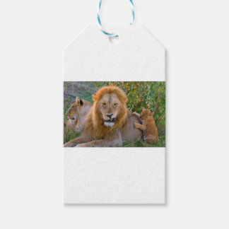 Cute Lion Cub Playing With Dad, Kenya Gift Tags