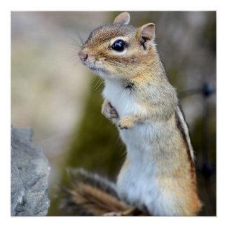 Cute Little Chipmunk on Alert Perfect Poster