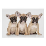 Cute little French Bulldogs Poster
