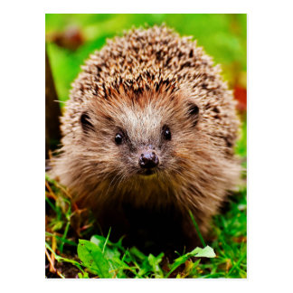 Cute Little Hedgehog in the Forest Postcard