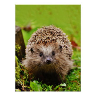 Cute Little Hedgehog in the Forest Poster