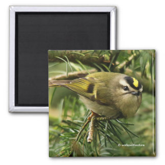 Cute Little Kinglet Causes a Stir in the Fir Square Magnet