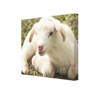 Cute little lamb canvas print