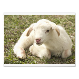 Cute little lamb photo print
