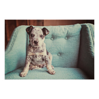 Cute Little Puppy On Teal Chair Poster
