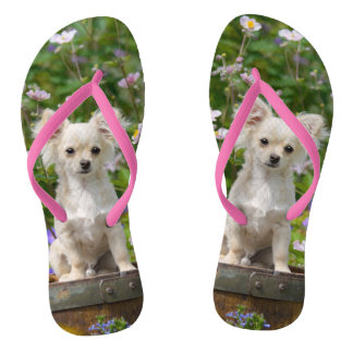 Cute long-haired cream Chihuahua Dog Puppy Photo - Flip Flops