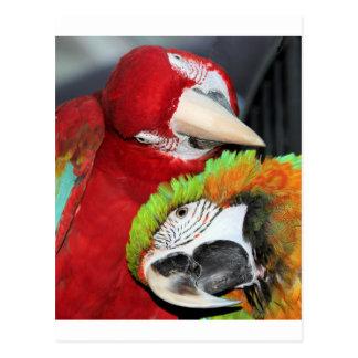 Cute macaws postcard