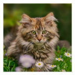 Cute Maine Coon Kitten Cat Animal Photo Poster