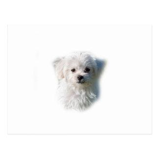 Cute Maltese Dog Postcard
