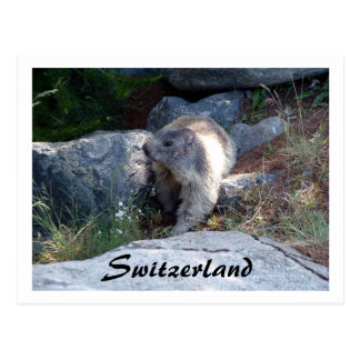 Cute marmot Switzerland -- Postcard