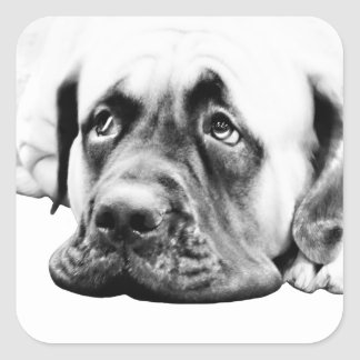Cute Mastiff dog Square Sticker