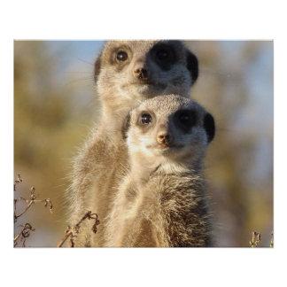 cute meerkats 1214 poster