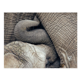 Cute Nursing Baby Elephant Breastfed By Mother Postcard