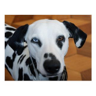 Cute One Blue Eye Dalmatian Dog Postcard