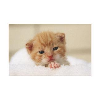 Cute orange kitten gallery wrapped canvas