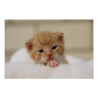 Cute orange kitten poster