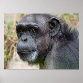 Cute Orangutan Staring at the Camera Poster